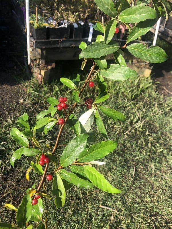 Brilliant Rose Autumn Olive (Organic) IMG 1282 scaled