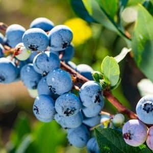 Berries & Fruiting Bushes
