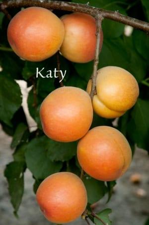 Perfection Apricot Katy 2012