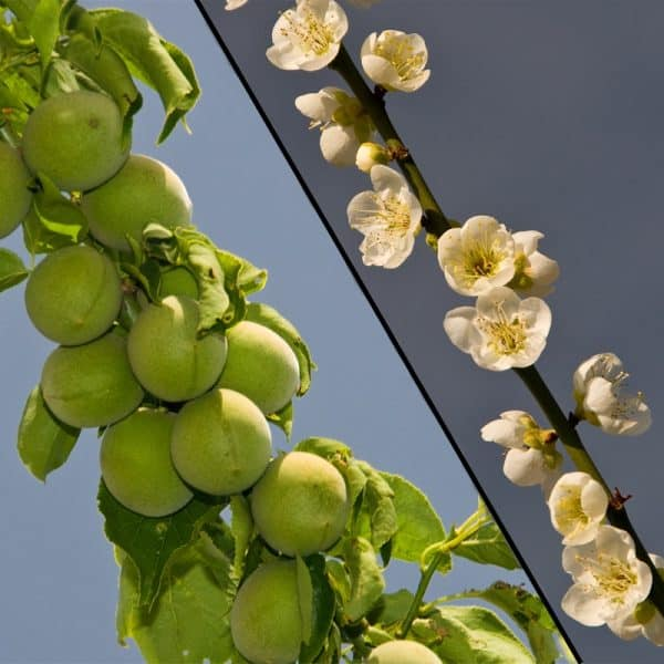 Shiro Kaga Apricot Shira Kaga LE Cooke With Bloom 4x4 Collage
