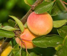 Manchurian Apricot california tropical autumn royal apricot 1