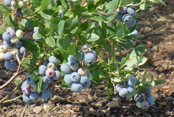 Gupton Blueberry gupton
