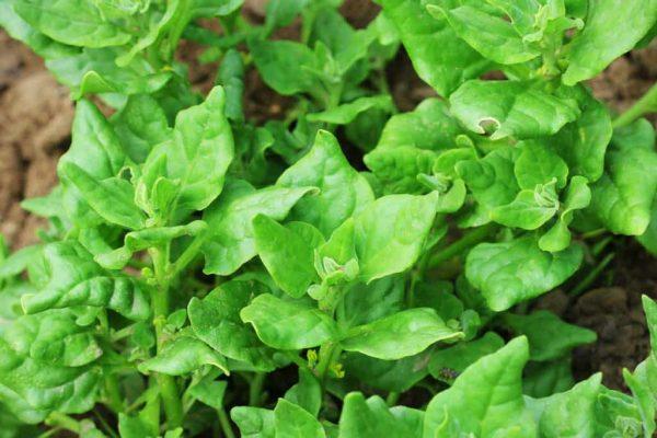 New Zealand Spinach New Zeasland spinach bigstock Tetragonia Tetragonioides New 311632825 1024x683 1