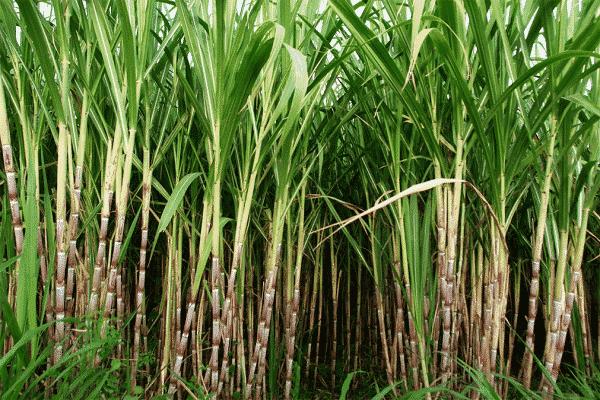 Sugarcane 1 brgt6gPYKhf3aGHjWjTnNg