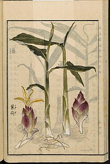 """Myoga """"Japanese Ginger"""" 220px Leiden University Library Seikei Zusetsu vol. 24 page 037 茗荷 Zingiber mioga Thunb. Roscoe 1804"""