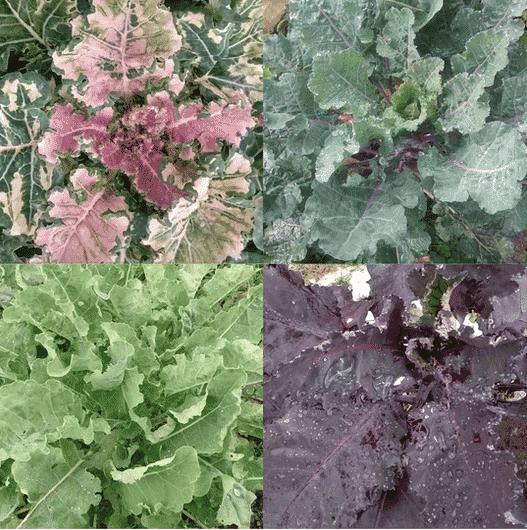 Homesteader's Kaleidoscopic Perennial Kale Grex (Organic) Screen Shot 2021 08 13 at 6.55.54 PM