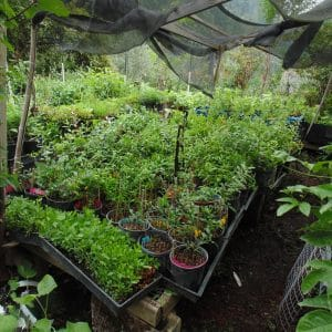 Perennial Vegetables and Herbs