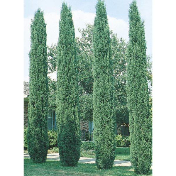 Italian Cypress (Cupressus sempervirens stricta) 014305174076