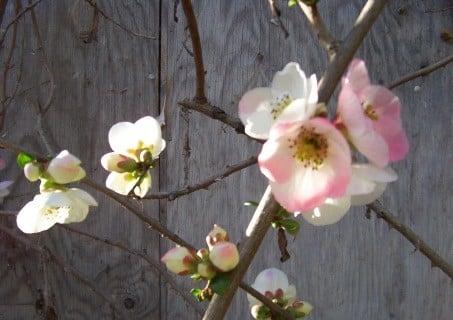 Toyo Nishiki Flowering Quince 0703886e7e865fb67a15508b09af3656