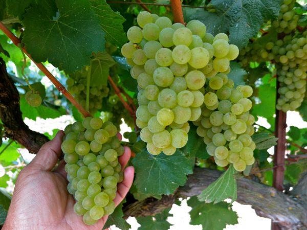Chardonnay Dijon 76 Grape 08 07 2013 4 scaled
