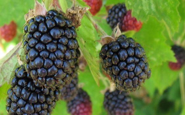 Triple Crown Thornless Blackberry 10202triplecrownblackberry
