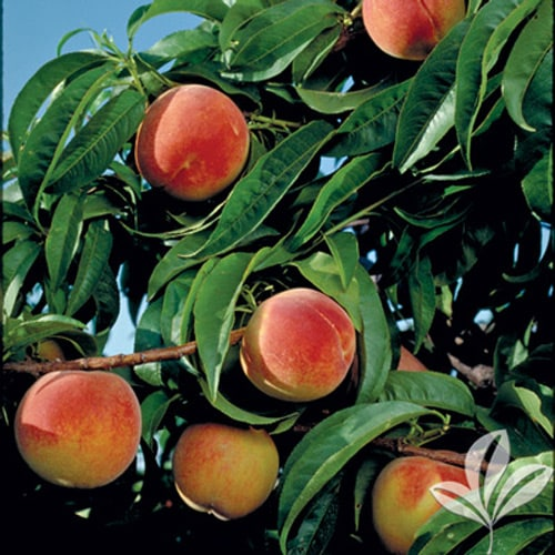 Earligrande Peach (Conventional BR2020) 1026021
