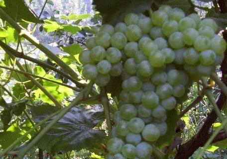 Interlaken Grape 129a3ac52d8eb9a6240af358d017a9f5