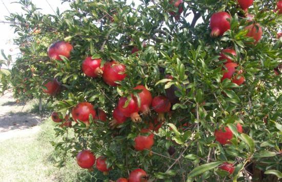 Hyrdanar X Goulosha (Organic) 168010display