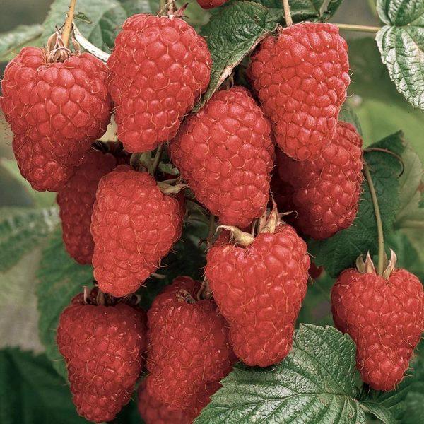Loganberry Thornless