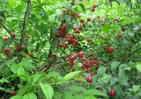 Jan (Prunus japonica x jacquemontii) (Organic) 3679746286b351226352f5fb9b7dc8b9