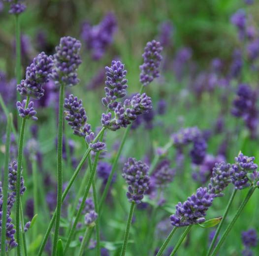 Provence French Lavender 413 provencelavender close