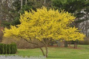 Red Dawn™ Cornelian Cherry 424 reddawncorneliancherry tree