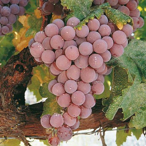 Reliance Seedless Grape 436 reliancetablegrape close