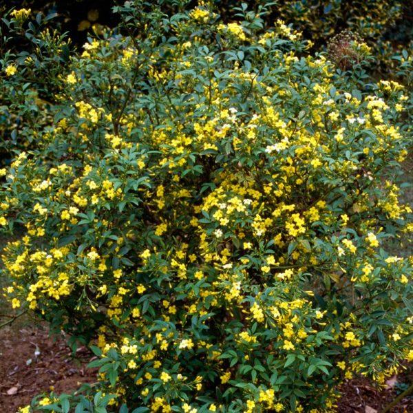 Yellow (Revolutum) Jasmine 437 revolutumjasmine