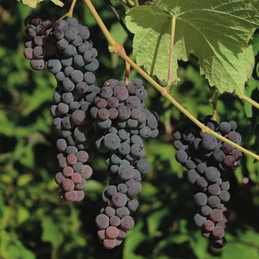 Muscat Blue Seedless Grape 466 seedlessbluemuscat close