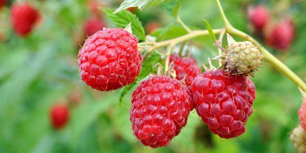 September Everbearing Raspberry (Conventional) 471 septeverbearingraspberry close