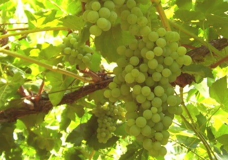 Himrod Seedless Grape 474f1eb833f78acd4ddf7ecae8024650