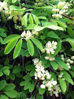 Shiro Bana (Akebia quinata) (Conventional) 476 shirobanaakediaquinata close