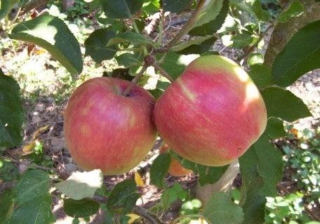 Jonafree Apple (Organic) 47c016cf589d9e6c0b2ff7d8d081986a