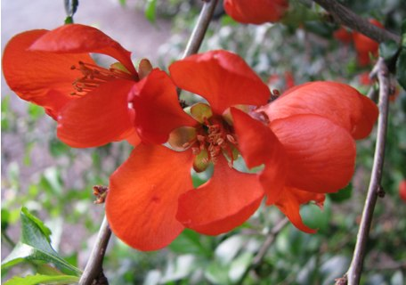 Texas Scarlet Flowering Quince 4b698f29edb9f86b965b1f687348e63d