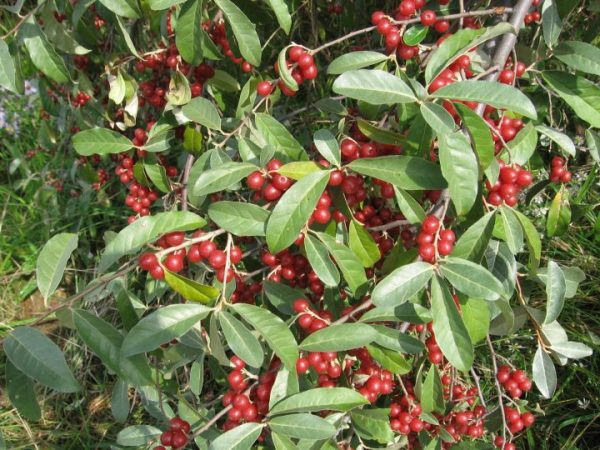 Delightful Autumn Olive (Organic) 5autumnolive