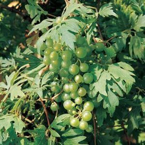 Sweet Lace Grape 69d3e245ab843eeb7c4152e514c7991d