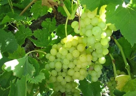 Sultana (Thompson Seedless) Grape 6c1e92f1b62168a808856a6e33af1b0d