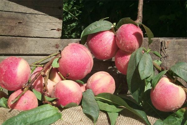 Strawberry Free Peach (Conventional) 750 500 csupload 23423129