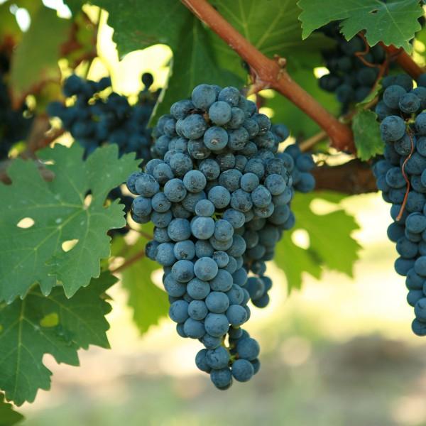 Alwood Grape alwoodtablegrape