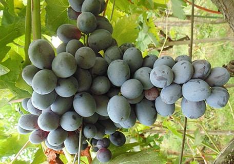 Amsden Grape amdsenf