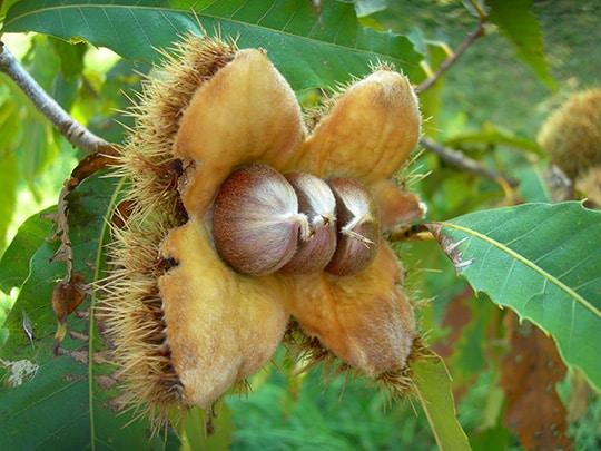 American Chestnut americanchestnut
