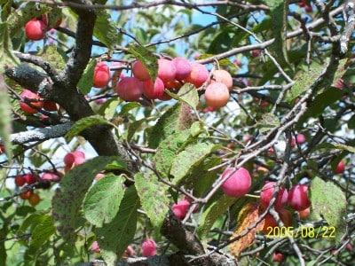 American Plum (Prunus Americana) (Organic) americanplum