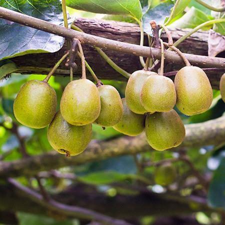 Ananasnaya (Anna) Female Hardy Kiwi ananasayaakaannahardykiwi