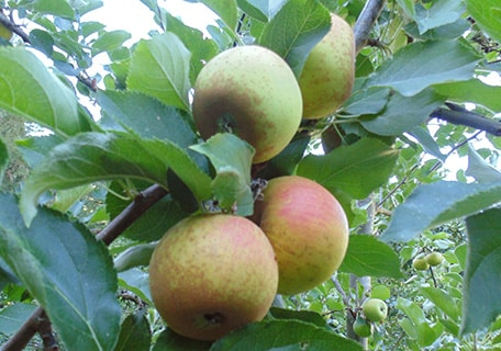 Ashmead's Kernel Apple (Organic) ashmeads kernalf