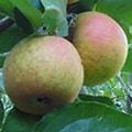Ashmead's Kernel Apple (Organic) ashmeads kernalt