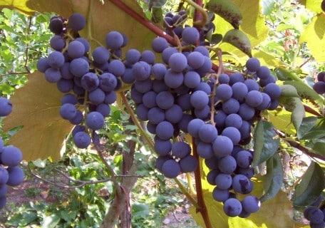 Concord Grape b1274df1568355da44ebcf5485889e06