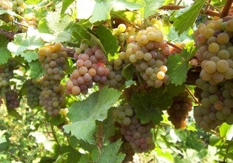 Gewürztraminer Grape b4f47117bc70cbd9d93329aa641f61b8