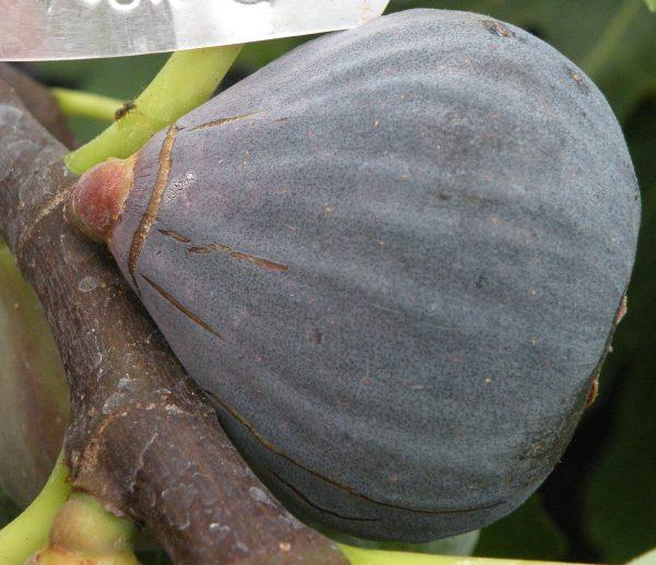Barnissotte (Brogiotto Nero) (Organic) barissottenerobrogiottofig
