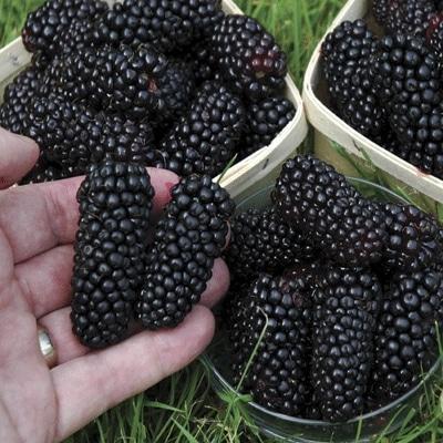 Black Butte Blackberry