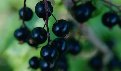 Blackdown (Organic) blackcurrantblackdown