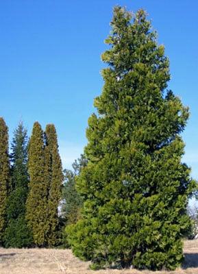 Incense Cedar (Calocedrus decurrens) (Organic) cal dec form