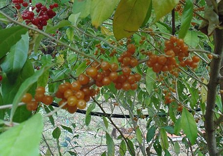 Charlie's Golden Autumn Olive 5 Plant Special (Organic) charlies goldenf1