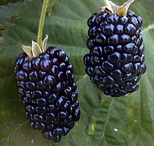 Chickasaw Blackberry chickasaw 2