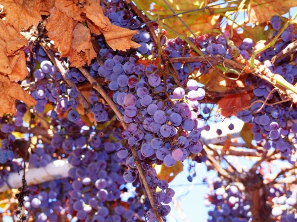 Cascade Grape concord grapes on vines2 scaled